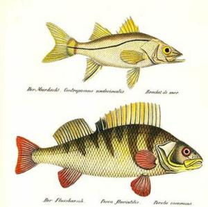 zander  variety of European perch